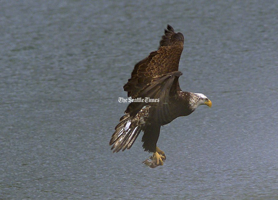 An immature Bald eagle carries away a crab dinner from the Everett waterfront. (Mark Harrison, The Seattle Times)