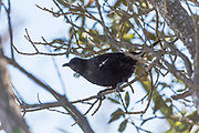 A Tui bird of New Zealand, sitting in a tree