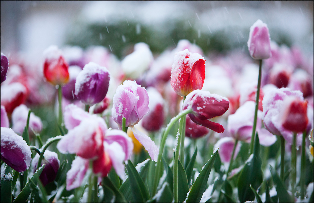 Early May snow creates stunning rare shot of snow covered tulips.