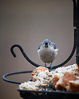 Tufted Titmouse. Image taken with a Nikon D5 camera and 600 mm f/4 VR lens (ISO 720, 600 mm, f/4, 1/1250 sec)