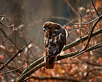 Red-tailed Hawk (?). Backyard Autumn Nature in New Jersey. Image taken with a Nikon D3x camera and 600 mm f/4 VR lens (ISO 200, 600 mm, f/4, 1/200 sec).