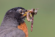 Stock Photo of American Robin captured in Colorado.  The robin is widespread and common throughout the Rocky Mountains.