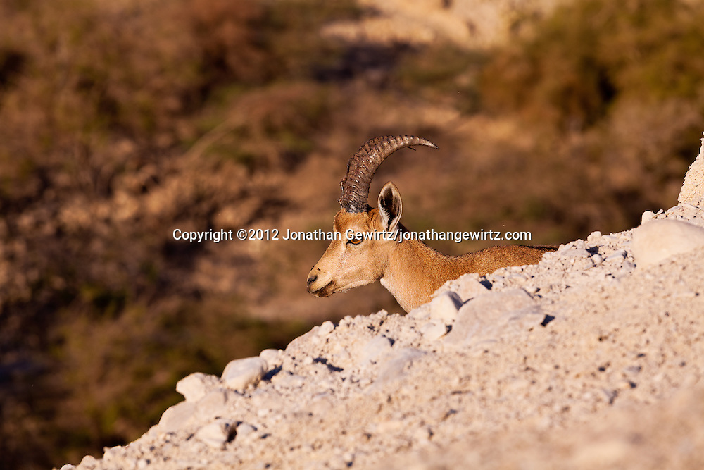 A Nubian ibex (Capra nubiana) resting on a ledge over Nahal David in the Ein Gedi nature preserve. WATERMARKS WILL NOT APPEAR ON PRINTS OR LICENSED IMAGES.