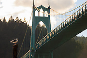 USA, Oregon, Portland, Cathedral Park, Western Gull (Larus occidentalis) in front of St. John's Bridge.