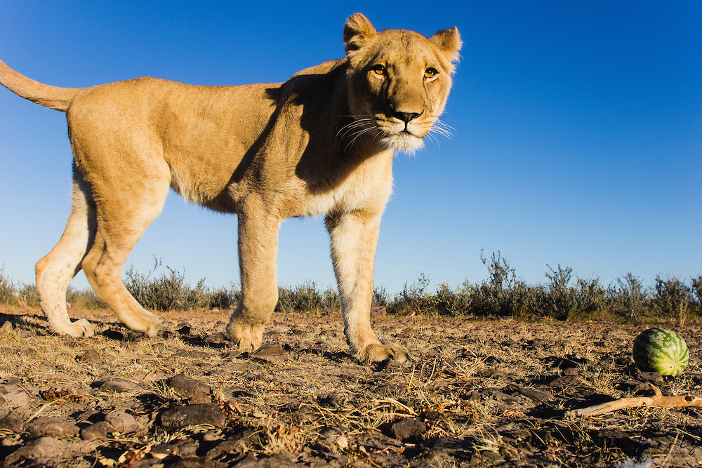 A female lioness walking toward remote camera, wide angle, (Panthera leo), Kalahari, Botswana Africa