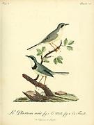 Plastron noir [Unidentified] from the Book Histoire naturelle des oiseaux d'Afrique [Natural History of birds of Africa] Volume 3, by Le Vaillant, François, 1753-1824; Publish in Paris by Chez J.J. Fuchs, libraire 1799 - 1802