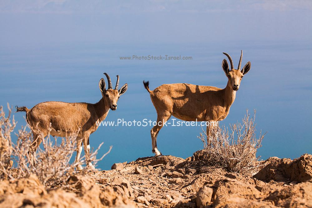 Two young Male Nubian Ibex (Capra ibex nubiana), Negev Desert, Israel