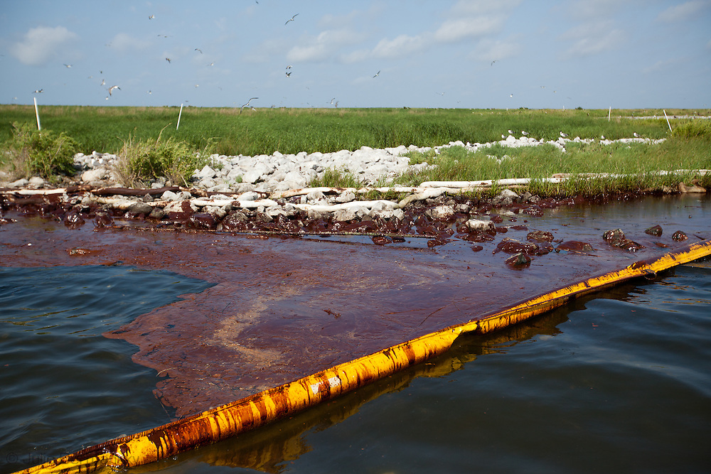 Queen Bess Island, a rookery for brown pelicans, Louisiana's State bird,and other migratory birds is contaminated with oil that is on both sides of boom put around the island to protect it. The National Wildlife and fFshery agents have rescued many birds off the island that are drenched in oil since june 3rd, 2010. In some areas the booms are full of BP oil and need to be replaced to be effective.