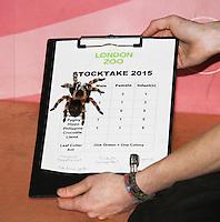 Mexican Red-Kneed Tarantula, ZSL London Zoo Annual Stocktake 2015, Regents Park, London UK, 05 January 2015, Photo By Brett D. Cove