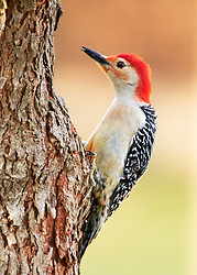 A Curious Red-Bellied Woodpecker Perched On The Side Of A Tree