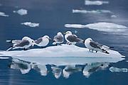 Kittwake birds on small iceberg, Rissa tridactyla, Spitsbergen, Norway