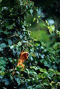 Golden Lion Tamarins are omnivorous and on their search for fruits they dexterously climb into the high canopy of the rainforest. | Löwenäffchen sind Allesfresser, die auf ihrer Suche nach Früchten geschickt bis in die oberen Stockwerke des Urwaldes klettern.