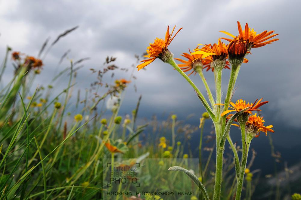 Alpenblumen am Pilatus an einem wolkenverhangenem Sommernachmittag. Kopfiges Kreuzkraut (Senecio capitatus) in einer Bergwiese.