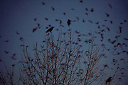 Three American crows (Corvus brachyrhynchos) perched in a bare winter tree watch as a large flock of crows, known as a murder, fly past at dusk on their way to roosting grounds. An estimated 10,000 crows roost each night in the area.
