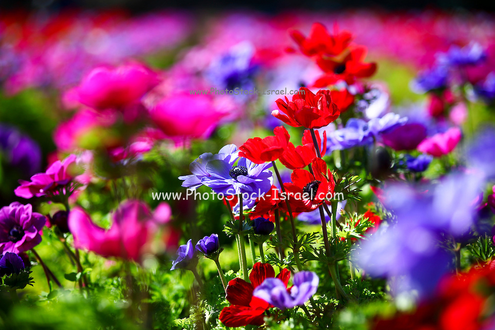 A field of cultivated colourful and vivid Anemone flowers. Photographed in Israel
