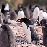 An adult Adelie penguin carries a rock in its beak to build its nest on Brown Bluff in Antarctica.