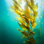 The sun shines through giant kelp (Macrocystis pyrifera) off San Diego, California, USA.