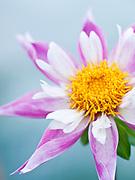 Dahlia 'Lorona Dawn' - single orchid (star) dahlia