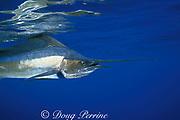 Atlantic sailfish, <br /> Istiophorus albicans (c-r), La Gaura Bank<br /> Venezuela, South America ( Caribbean Sea )