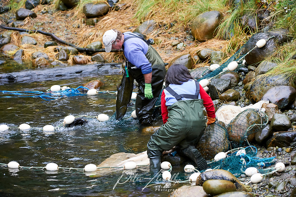 Hatchery workers netting Salmon to collect eggs and sperm for the fish hatchery at    Thornton Fish Hatchery, Ucluelet,  British Columbia, Canada