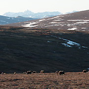 A Muskox herd in Alaska.
