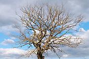 Bare oak
