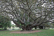 """Moreton Bay Fig Tree or Ficus macrophylla Pers. ex Desf. subsp. macrophylla located in the Royal Botanic Gardens, Sydney, Australia..Central Queensland to southern New South Wales, in all rainforest types. Often planted as a shade tree in parks and large gardens. """"The Childrens' Tree"""" - dedicated 11 Apr 1983 at the request of Children of the Green Earth by Mr. Doug Swan (Director General of Education) who proclaimed the pupils of Plunkett Street School as custodians of the tree...Central Queensland to southern New South Wales, in all rainforest types. It starts life as a seedling growing high on existing trees and slowly strangles them as its roots reach the ground. Often planted as a shade tree in parks and large gardens. The roots spread widely and will damage pipes, paths etc. Fibres from the wood were used by Aborigines for nets."""