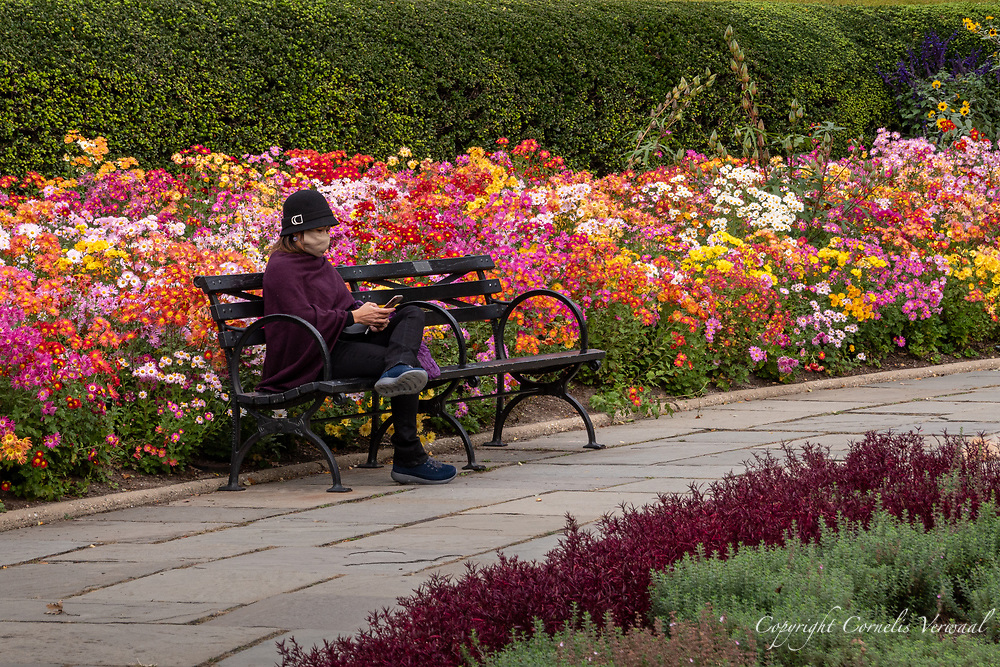 The Chrysanthemum are in full bloom in the Conservatory Garden in Central Park.