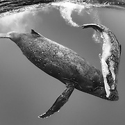 Male humpback whale calf (Megaptera novaeangliae) playing while traveling with his mother.