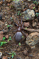The mouse spider is a beautiful, velvety (hence the name) brown spider and accidental European import that has established itself across much of North America. This speedy predator does not use a web to catch prey, but rather prefers to chase down and overpower insects and other spiders. At less than an inch in length, this spider is completely harmless to humans, unless you are in fact the size of a cricket. This mature female was found under a rock between Ellensburg and Vantage, Washington while hunting for scorpions.