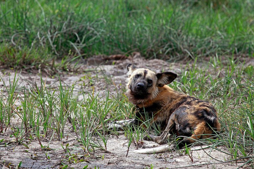 Africa, Botswana, Savute. African Wild Dog of Savute, Chobe National Park.