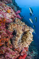 A large Reef Octopus, Octopus cyanea, does its best to blend in with the rocky reef, as a squadron of Blue-fin Trevally, Caranx melampygus, patrol above. Richelieu Rock, Thailand, Andaman Sea
