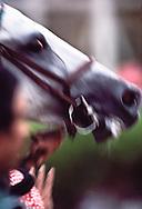 Arabian horse, Saudi Arabia
