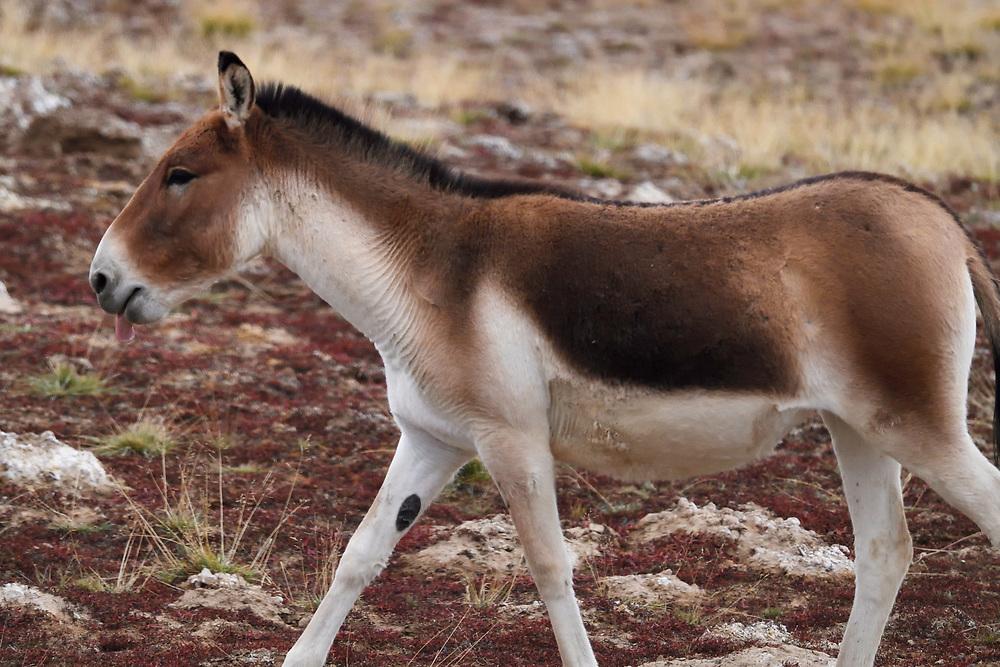 Kiang (Equus kiang), or Asian Wild Ass, wetlands near Madoa, Tibetan Plateau, Qinghai, China
