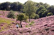 Nederland, Mook, 23-8-2019Natuurgebied De Mookerheide. Mensen wandelen door het gebied . Nu het even geregend heeft staat de hei mooi in bloei. Toch zijn er door de droogte van dit en viorig jaar veel heistruiken dood gegaan, verdord.Ook bekend om de historische Slag op de Mookerheide op 14 april 1574. De Mookerhei is een natuurgebied ten oosten van Mook in de provincie Limburg. Zij ligt op een uitloper van de Nijmeegse stuwwal. In het zuidelijke deel groeit struikheide die normaal in augustus prachtig bloeit. Dit gebied is onderdeel van de wandelroute, pelgrimsroute, walk of wisdom door het rijk van Nijmegen.Foto: Flip Franssen