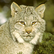 Canada Lynx, (Lynx canadensis) Montana. Portrait of sub adult in conifer. Winter. Captive Animal.