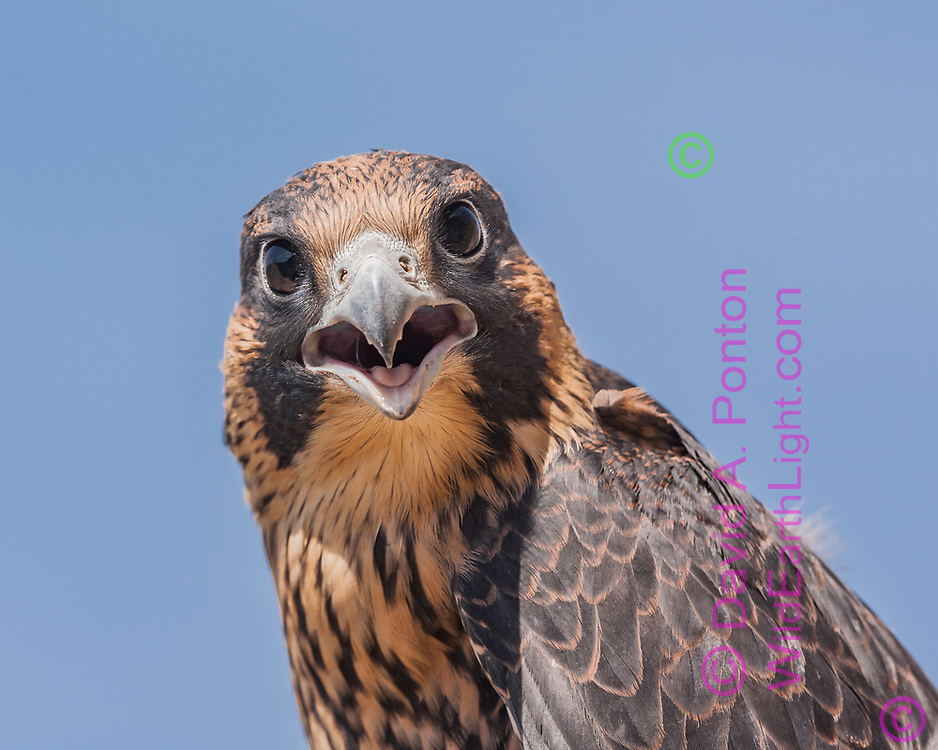 Tight portrait of juvenile peregrine falcon protesting being approached. Distinctive falcon features are the dark eyes, pointed upper beak with sharp edges, a small projection on each side of the upper beak like a tooth, called a tomial tooth,  which aids in killing avian prey with a neck bite, the projection penetrating between vertebrae to sever the spinal nerve. New Mexico, © David A. Ponton