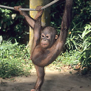 Orangutan, (Pongo pygmaeus) Juvenile in nursery at Sepilok Forest Rehabilitation Center. Borneo. Malaysia. Controlled Conditons.