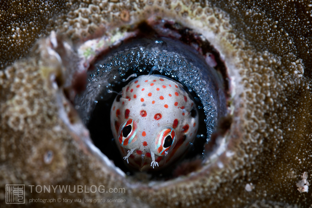 This is a male red-spotted blenny (Blenniella chrysospilos) hatching the clutch of eggs that he has been watching over for a period of about five days. Hatching occurs in the evening, with the male stimulating the eggs with his fins and mouth to provide the cue to the juveniles.