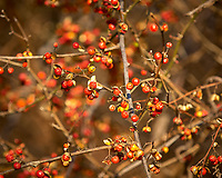 Bittersweet Berries. Backyard Winter Nature in New Jersey. Image taken with a Nikon D2xs camera and 70-200 mm f/2.8 lens (ISO 200, 190 mm, f/5.6, 1/320 sec).