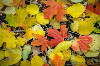 Fallen maple and aspen leaves cover the ground in Northern Utah.