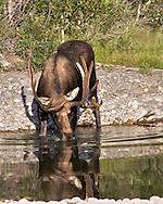 Bull Moose, Reflection, Grand Teton National Park