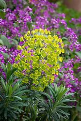 Euphorbia characias subsp. wulfenii 'John Tomlinson' amongst Lunaria annua - honesty.
