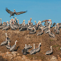 Brown Pelicans (Pelicanus occidentalis) roost and fly around a rock in the Pacific Ocean near Pescadero, California.
