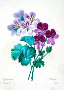 19th-century hand painted Engraving illustration of Geranium flowers, by Pierre-Joseph Redoute. Published in Choix Des Plus Belles Fleurs, Paris (1827). by Redouté, Pierre Joseph, 1759-1840.; Chapuis, Jean Baptiste.; Ernest Panckoucke.; Langois, Dr.; Bessin, R.; Victor, fl. ca. 1820-1850.