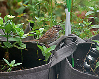 Song Sparrow. Image taken with a Leica SL2 camera and Sigma 100-400 mm lens