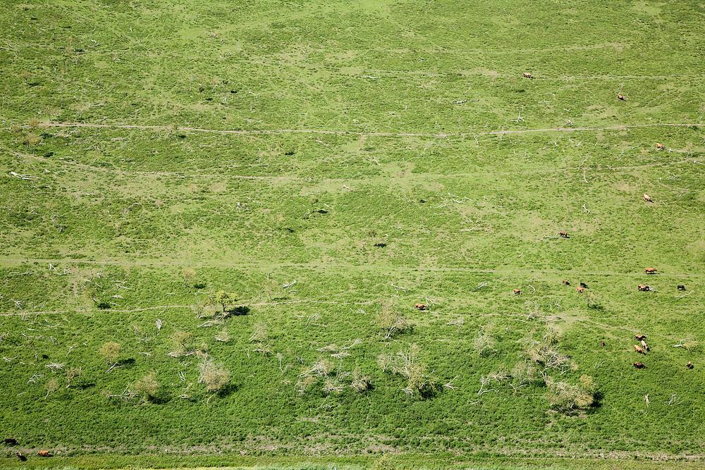 Nederland, Flevoland, Oostvaardersplassen, 14-07-2008; Natuurgebied, grazende heckrunderen; rund, grazen, kudde, Staatsbosbeheer, habitat, plassen, grasland, wetland, moeras, vogeltrek, trekvogel, overwintering, marshland. .luchtfoto (toeslag); aerial photo (additional fee required); .foto Siebe Swart / photo Siebe Swart