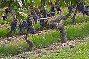 Old vine. Cabernet Sauvignon. Chateau Reignac, Bordeaux, France