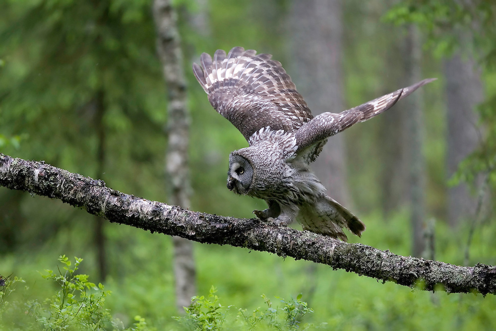 Great grey owl (Strix nebulosa) with vole in boreal forest, Oulu, Finland.