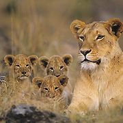 African Lion (Panthera leo) portrait of a mother and her cubs. Masai Mara National Reserve, Kenya, Africa